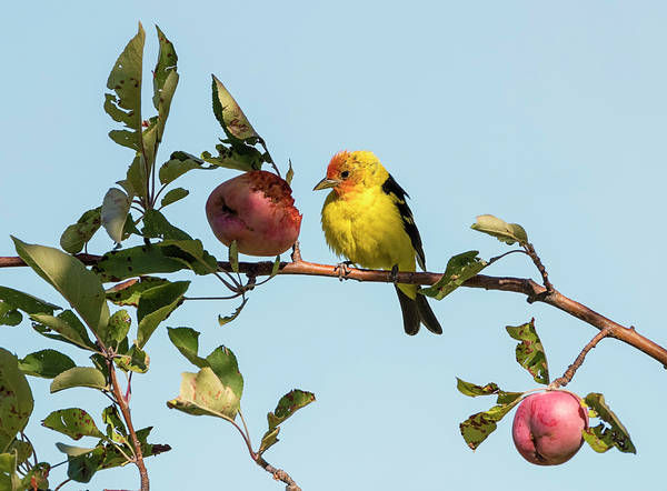 Wall Art - Photograph - Western Tanager In The Crabapples by Loree Johnson