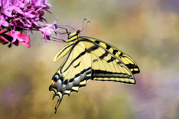 Wall Art - Photograph - Western Tiger Swallowtail by Donna Kennedy