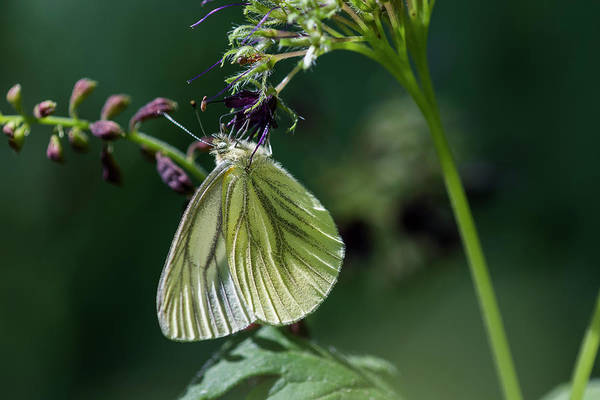 Photograph - Western White Butterfly by Robert Potts