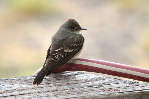 Photograph - Western Wood Pewee by Kae Cheatham