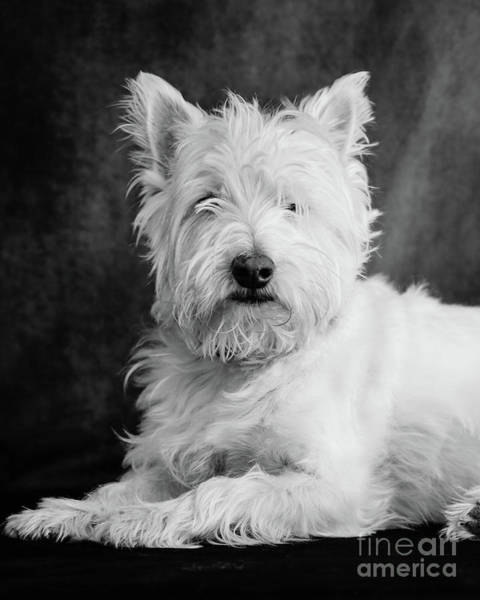 Wall Art - Photograph - Westie Dog by Edward Fielding