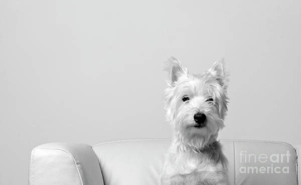 Photograph - Westie On White IIi by Edward Fielding