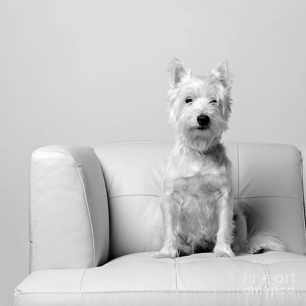Photograph - Westie On White Leather Sofa by Edward Fielding