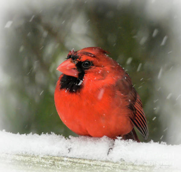 Photograph - Wet And Wild - Male Northern Cardinal  by Kerri Farley