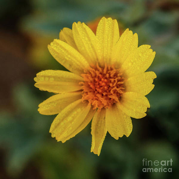 Juxtaposition Photograph - Wet Desert Sunflower  by Robert Bales