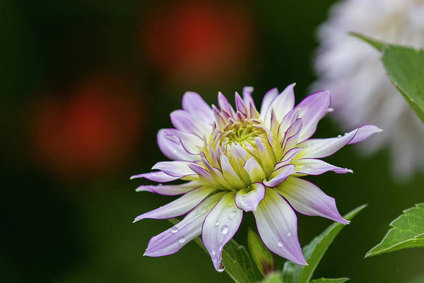 Photograph - Wet Petals Dahlia by Robert Potts