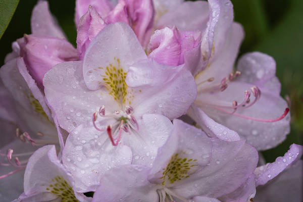 Photograph - Wet Rhododendrons by Robert Potts