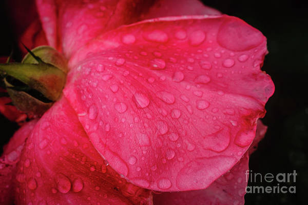 Wet Rose Petal Art Print
