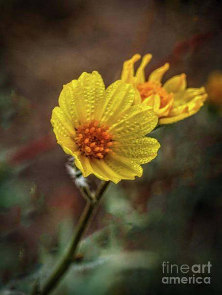 Juxtaposition Photograph - Wet Wild Sunflower by Robert Bales