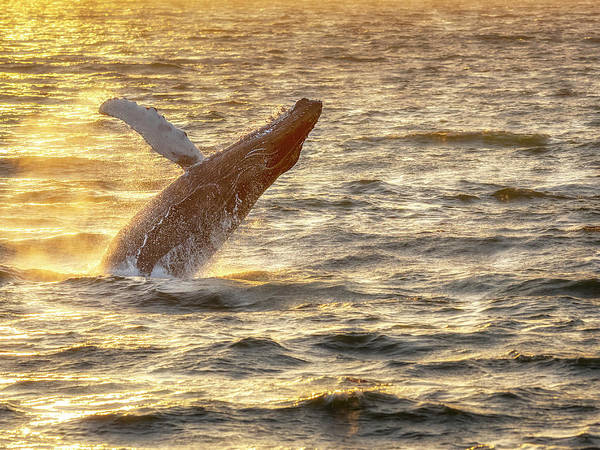 Wall Art - Photograph - Whale Breach by Steve Spiliotopoulos