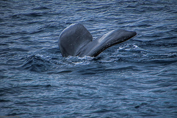 Photograph - Whale Of A Tail by Gaylon Yancy