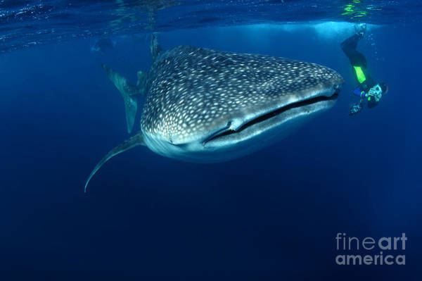 Wall Art - Photograph - Whale Shark & Snorkeller Rhincodon by Davidpstephens