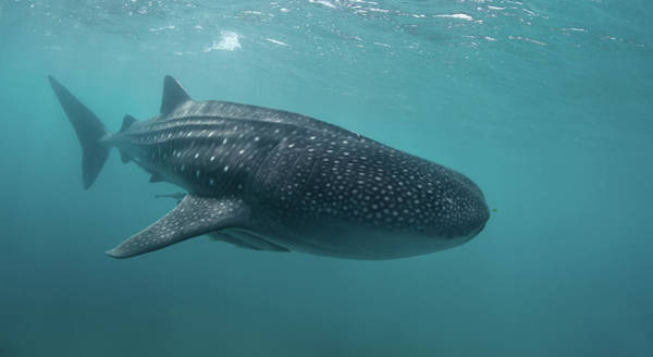 Underwater Photograph - Whale Shark by Nature, Underwater And Art Photos. Www.narchuk.com