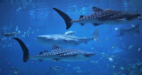 Wall Art - Photograph - Whale Sharks by Christopher James