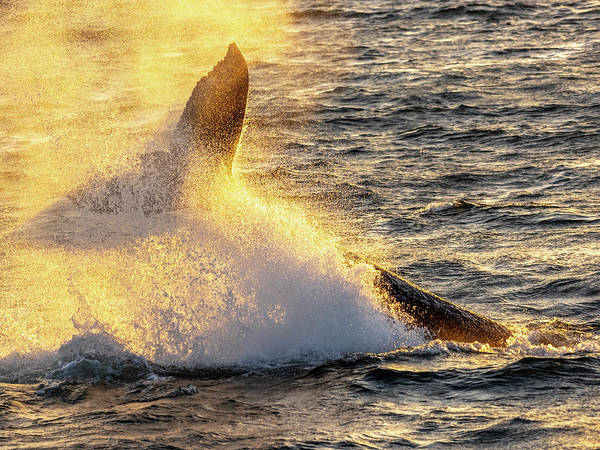 Wall Art - Photograph - Whale Tail by Steve Spiliotopoulos