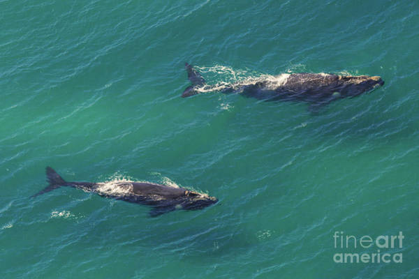 Photograph - Whales Mother And Calf by Benny Marty