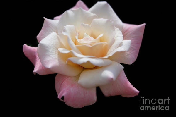 Photograph - What A Beautiful Rose by Sabrina L Ryan
