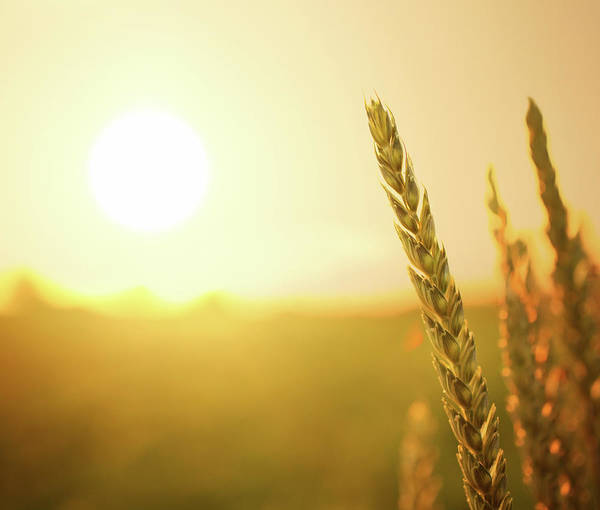 Lager Photograph - Wheat At Sunset by Gilaxia