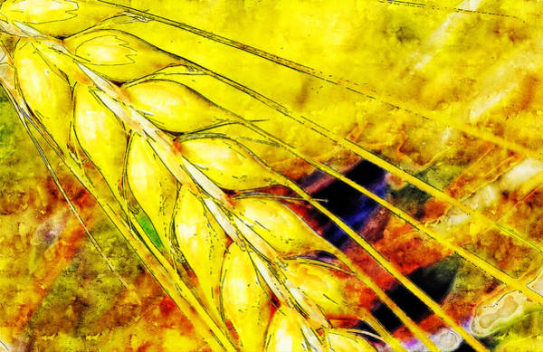 Wall Art - Drawing - Wheat Cereals Watercolor Drawing by Hasan Ahmed