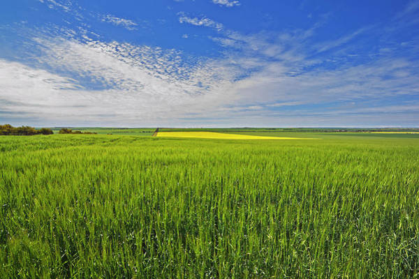 New South Wales Photograph - Wheat Crop Near Maitland by Australian Scenics