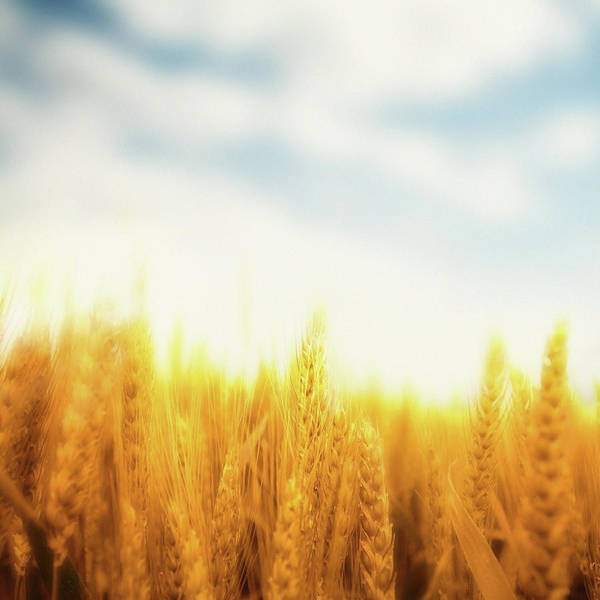 Cultivate Photograph - Wheat Field by Lukatdb