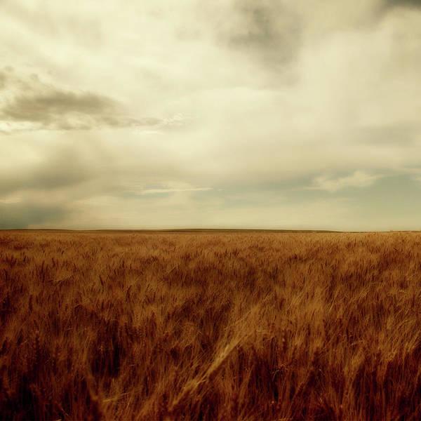 Nebraska Landscape Photograph - Wheat Field by Moosebitedesign