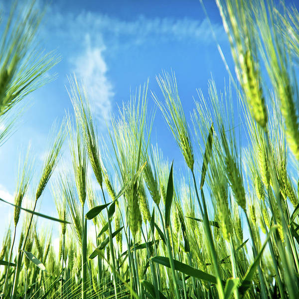 Environmental Issues Photograph - Wheat Field by Nikada