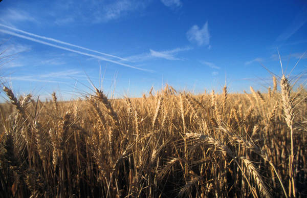 Ranch Photograph - Wheat Field by Norme