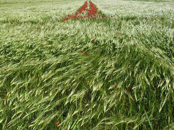 Photograph - Wheat Field With Poppies by Luigi Masella