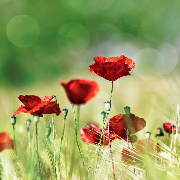 Photograph - Wheat Field With Red Poppies by Maika 777