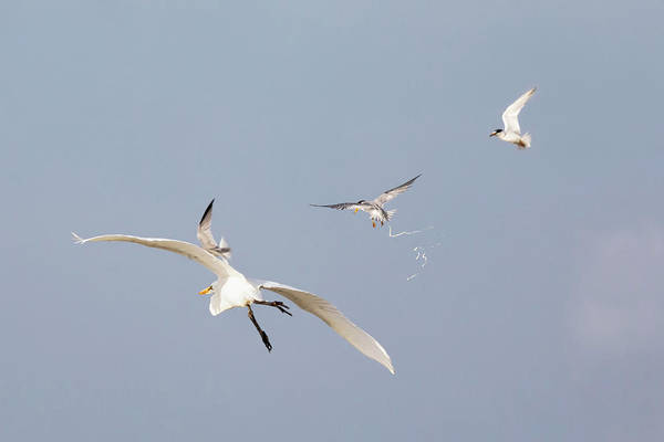 Photograph - When Terns Attack by Susan Rissi Tregoning