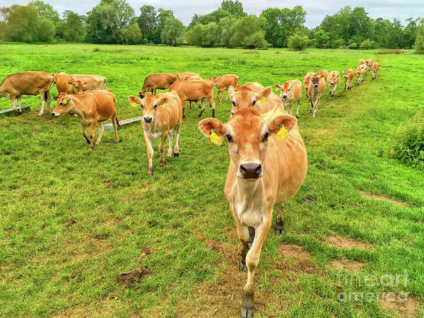 Andrew Jackson Wall Art - Photograph - When The Cows Come Home by Andrew Jackson