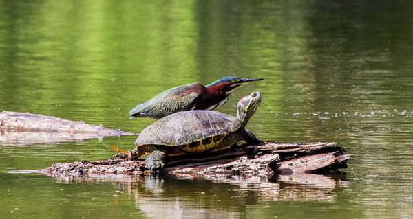 Wall Art - Photograph - Where Is The Dragonfly? Green Heron And Turtle - 6045 by Ximena Echeverria
