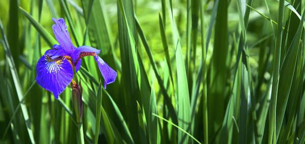 Photograph - Where The Iris Flowers by Theresa Tahara