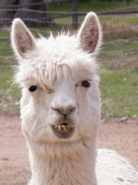 Photograph - White Alpaca by Christy Garavetto