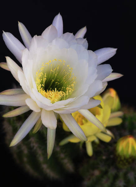 Photograph - White And Golden Echinopsis  by Saija Lehtonen