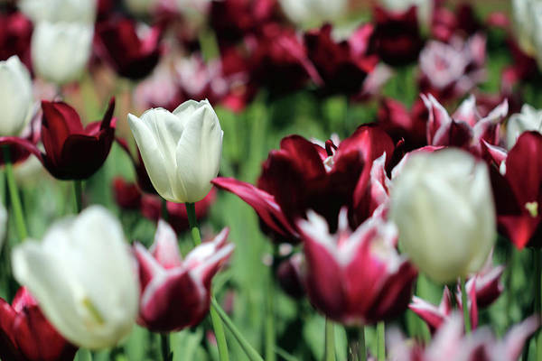 Photograph - White And Maroon Tulips by Angela Murdock