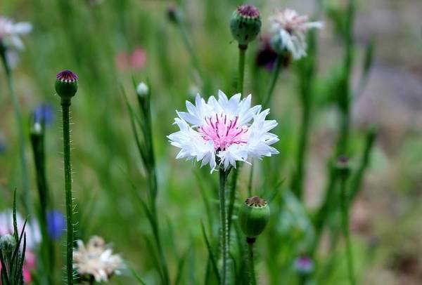 Photograph - White And Pink Cornflower by Cynthia Guinn
