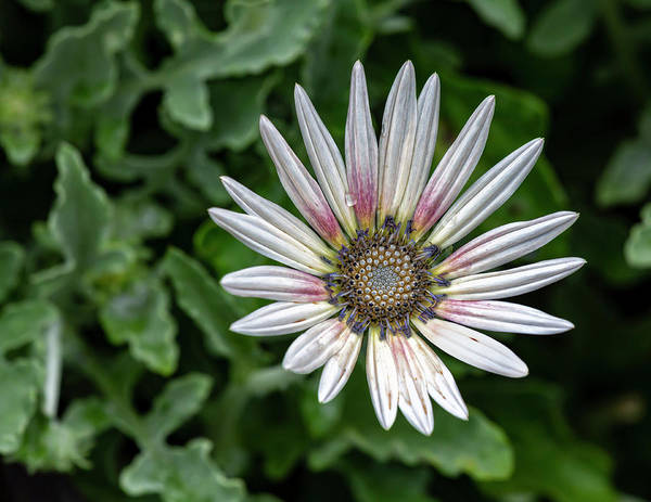 Photograph - White And Pink Summer Flower by Robert Ullmann