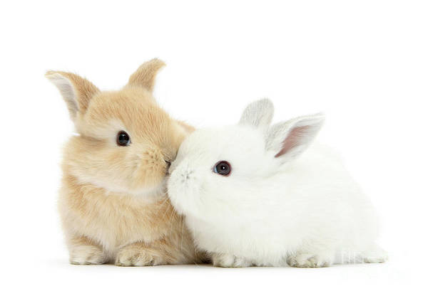 Photograph - White And Sandy Love Bunnies by Warren Photographic