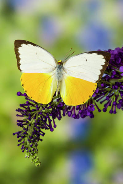 Butterfly Bush Wall Art - Photograph - White And Yellow Butterfly by Darrell Gulin