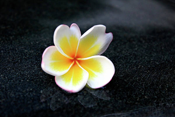 Blossom Photograph - White And Yellow Plumeria by Magalie L'abbé