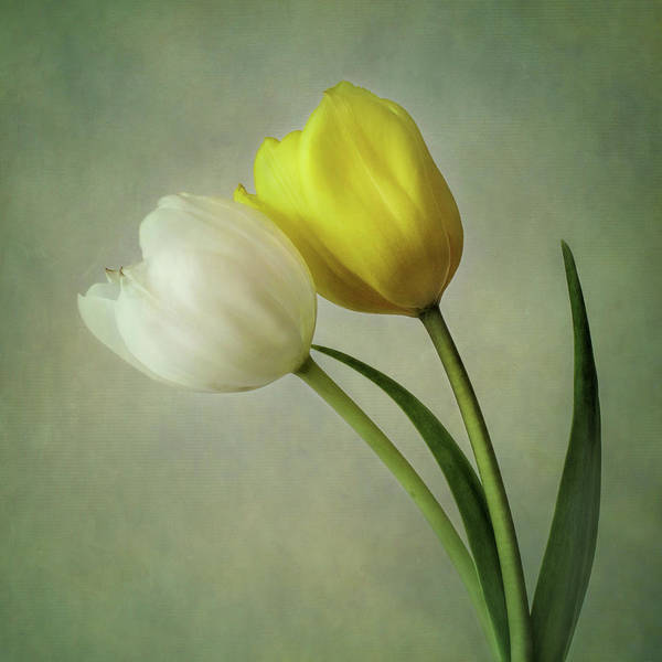 Wall Art - Photograph - White And Yellow Tulips by David and Carol Kelly