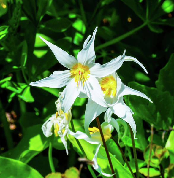 Wall Art - Photograph - White Avalanche Lily Erythronium by William Perry