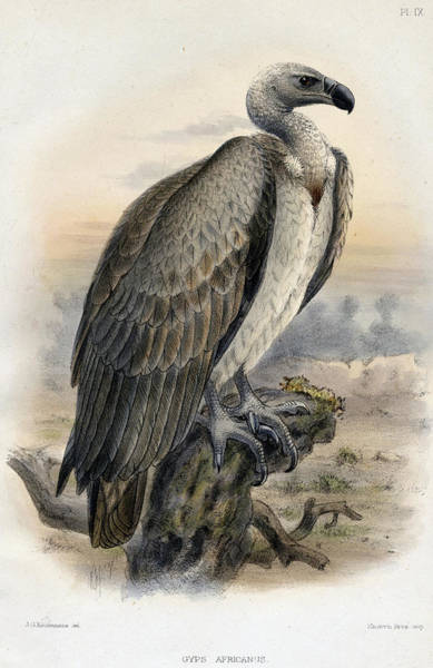 Wing Back Wall Art - Painting - White-backed Vulture by Jose Vicente Barbosa du Bocage