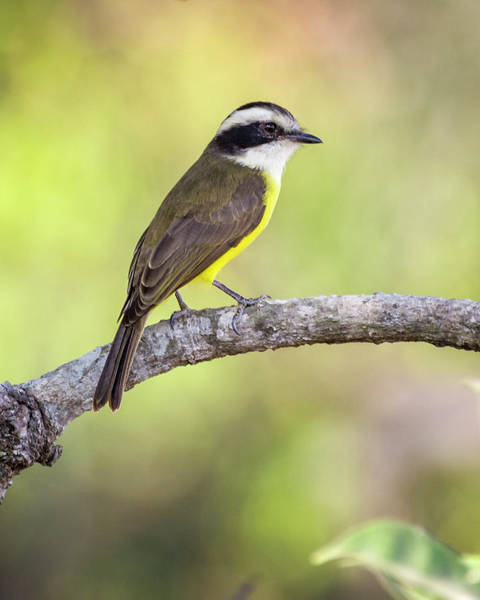 Photograph - White Bearded Flycatcher Hato Berlin Casanare Colombia by Adam Rainoff