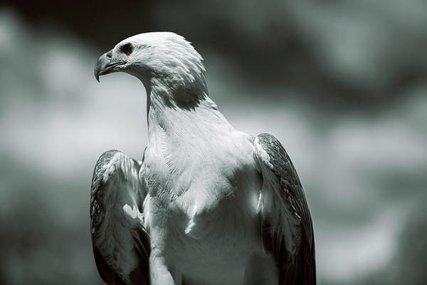 Photograph - White Belly Sea Eagle by Rob D Imagery