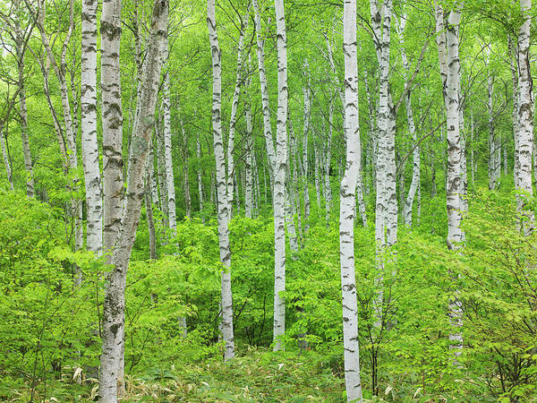 Wall Art - Photograph - White Birch Trees In Yachiho Plateau by Daj