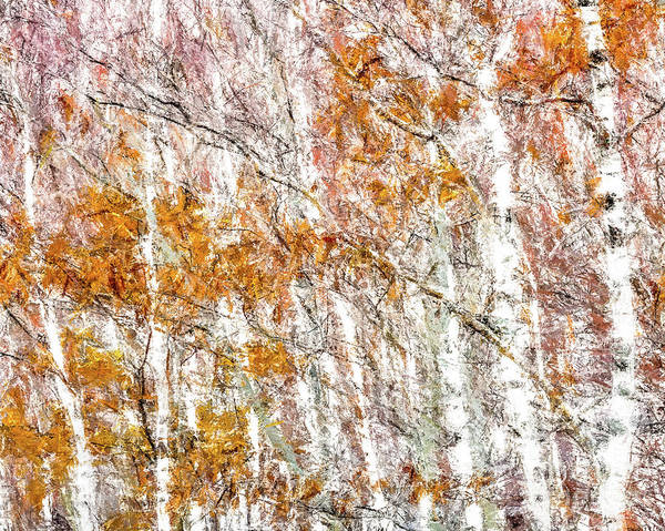 Digital Art - White Birches  by Susan Cole Kelly