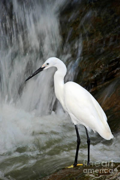 White Bird With Waterfall. Heron In The Art Print